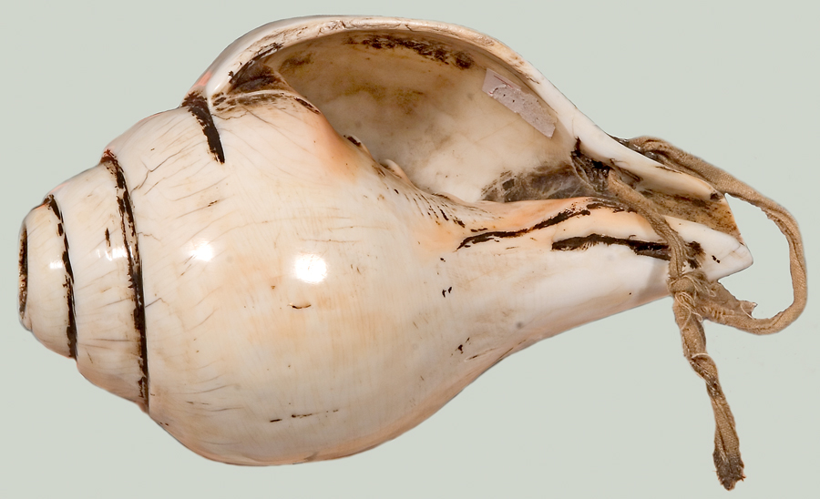 Conch Shell Trumpet Dung Dkar On Exhibit At The National Music Museum